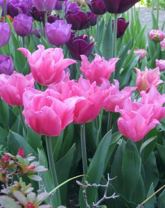 Tulipe Pretty Love