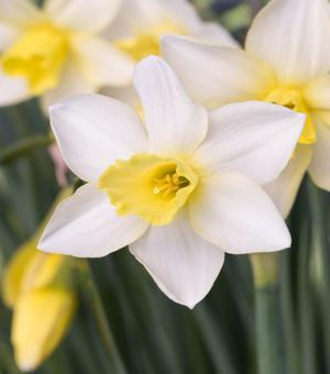Narcissus Pueblo