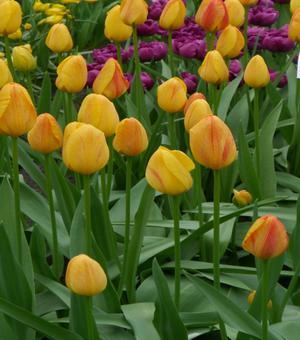 Tulipe Rhapsody of Smiles