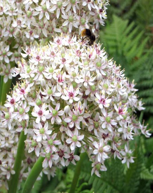 Allium Silver Springs