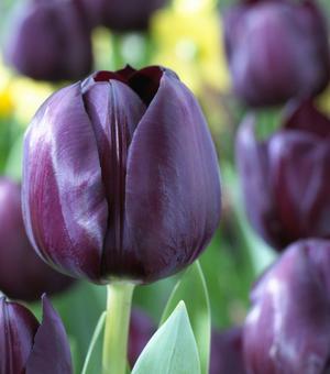 Tulipe Black Bean