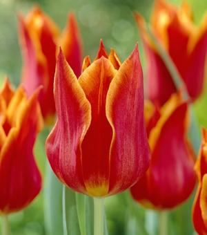 Tulipe Synaeda Orange