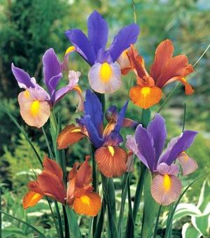 Dutch Iris Tiger Stripe Mixture