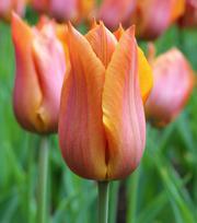 Tulipe Request