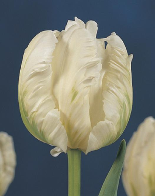 Tulipe White Parrot