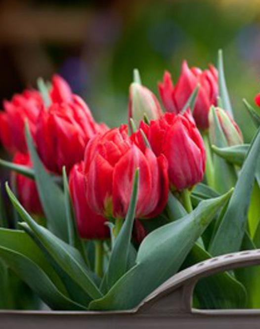 Tulipe Abba