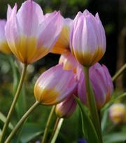 Tulipe Bakeri Lilac Wonder