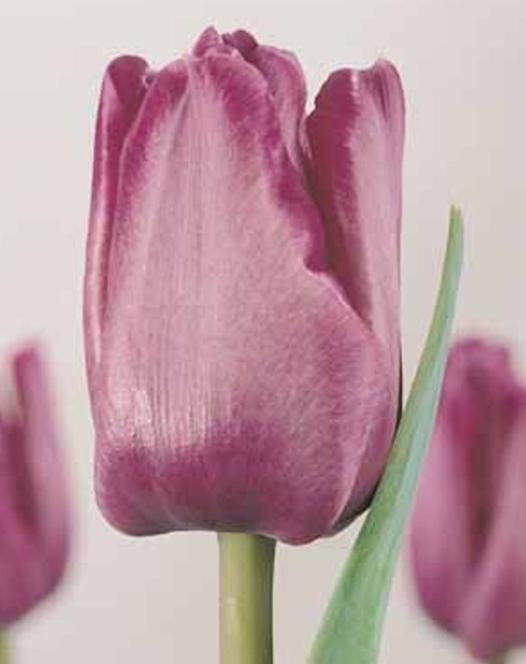 Tulipe Bleu Aimable