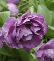 Tulipe Blue Diamond