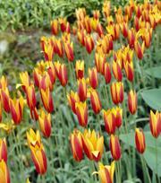 Tulipe Chrysantha