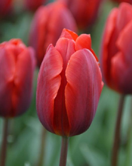 Tulipe Couleur Cardinal