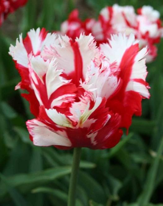 Tulipe Estella Rijnveld