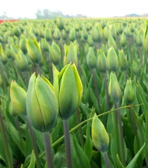 Tulip Evergreen