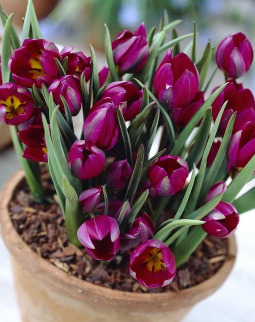 Tulipe Humilus Odalisque