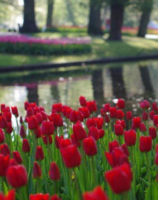 Tulipe Ile de France