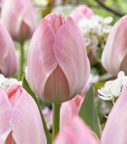 Tulipe Mystic van Eijk