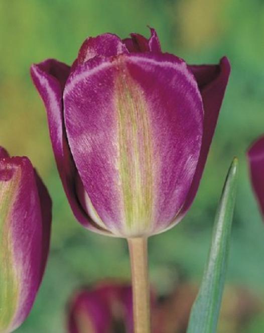 Tulipe Nightrider