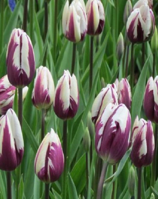 Tulipe Favorite de Rem