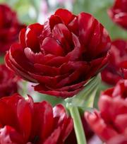 Tulip Red Baby Doll