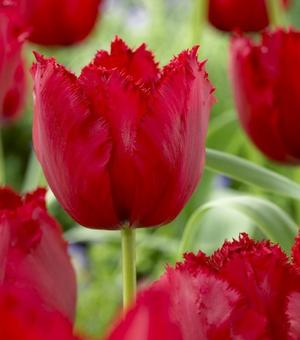 Tulipe Red Wing