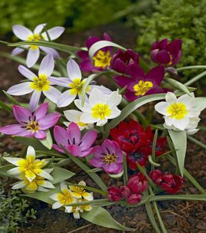 Mélange des tulipes