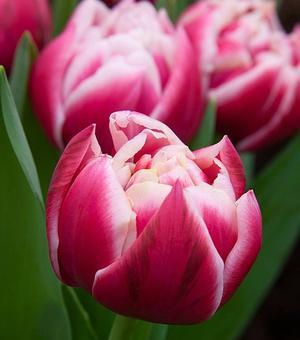 Tulipe Columbus