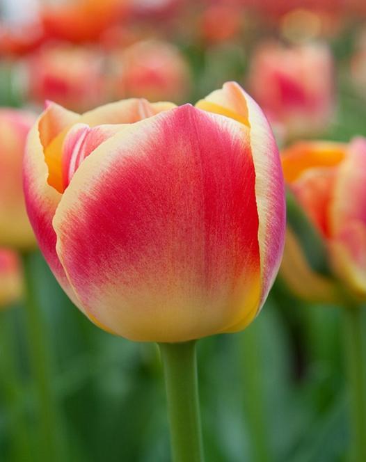 Tulipe Candy Corner