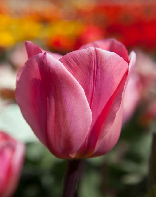 Tulipe Albert Heyn