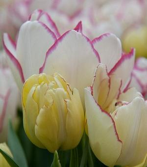Tulipe Belicia