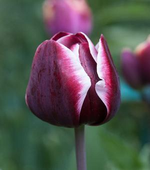 Tulipe Fontainebleau