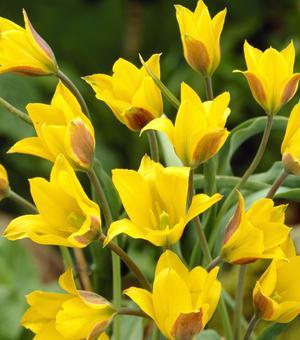 Tulipe Kolpakowaskiana