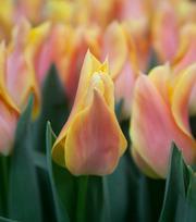 Tulipe Marianne