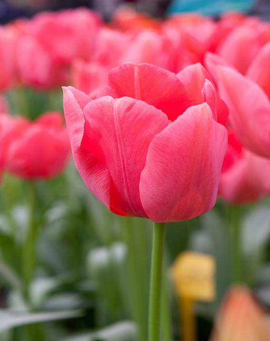 Tulipe Sake