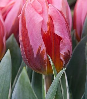 Tulipe Pretty Princess