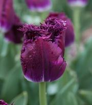 Tulipe Purple Crystal