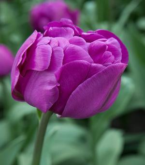 Tulipe Negrita Double