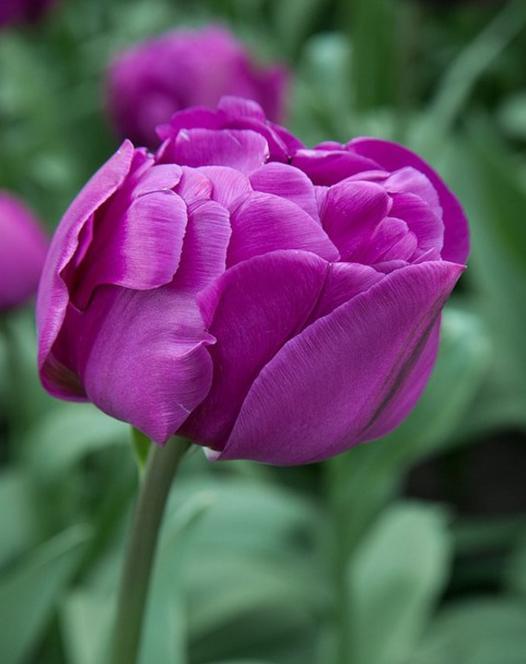 """Collection des Tulipes """"Le Rêve Violette"""""""