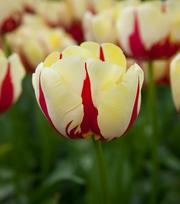 Tulipe World Expression