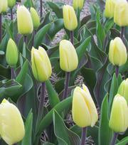Tulipe Vanilla Cream