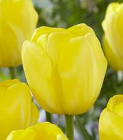 Tulipe Yellow Angel