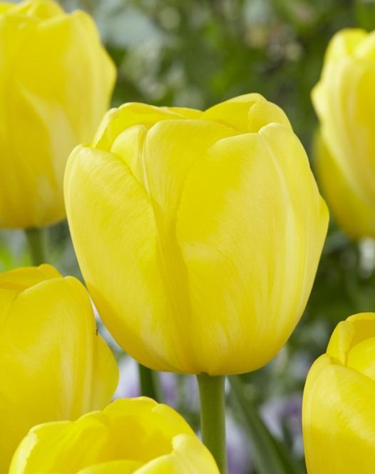 Tulipe Yellow Angel