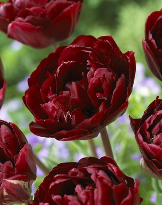 Tulip Uncle Tom