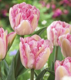 Tulipe Foxtrot