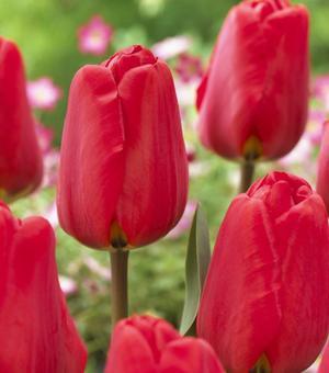 Tulipe Apeldoorn