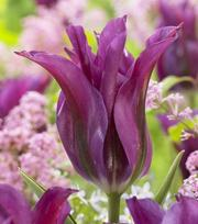 Tulipe Purple Doll
