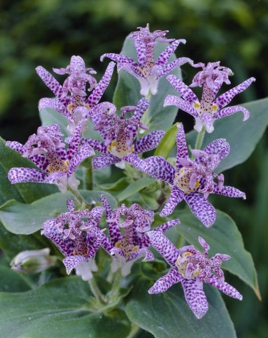 Tricyrtis Purple Beauty