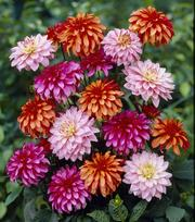 Dahlia Collection Gallery