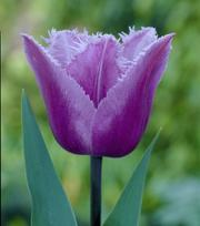 Tulipe Blue Heron