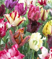 Tulipes Perroquet Mélange