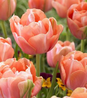 Tulipe Menton Exotic